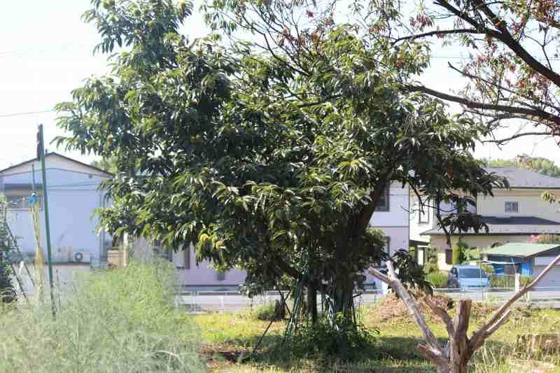 都筑区栗の木