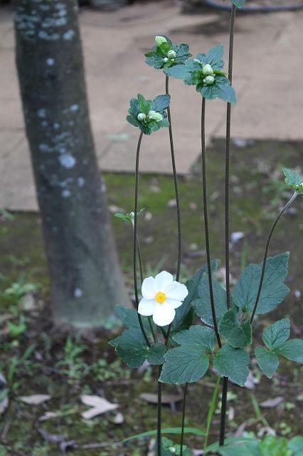 都筑民家園の秋明菊